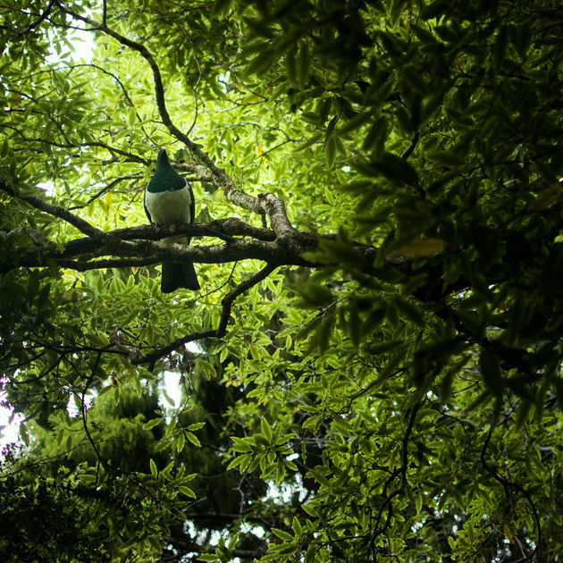 An oversized-pidgeon-looking bird perches above in a dense forest.