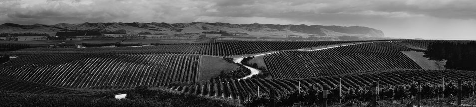 A panorama of some rows of grapes and a winding dirt road.